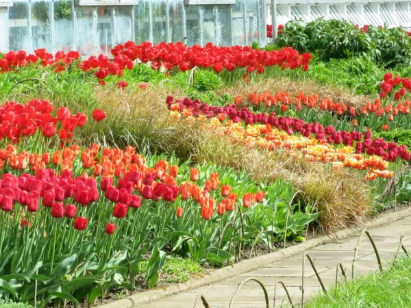 Photo of tulip beds