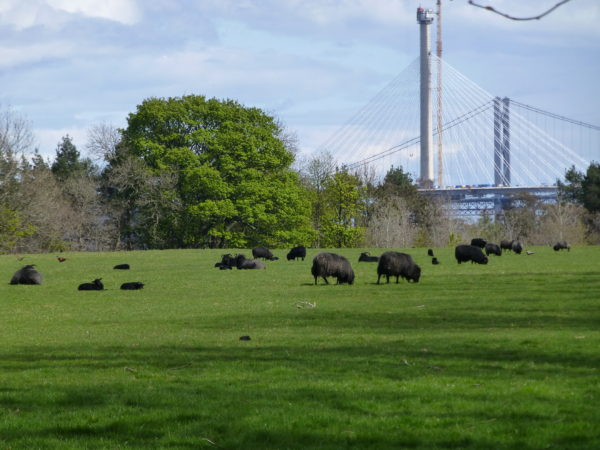 Sheep grazing at Hopetoun House with the old and new bridges behind them